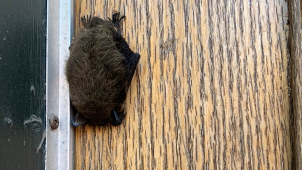 Murciélago de librería de Calgary salvado por Alberta Wildlife Group