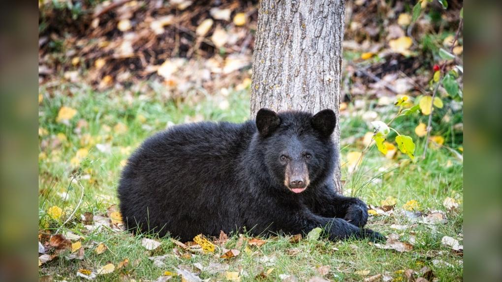 Mujer de Manitoba encuentra oso bebé comiendo manzanas en su jardín