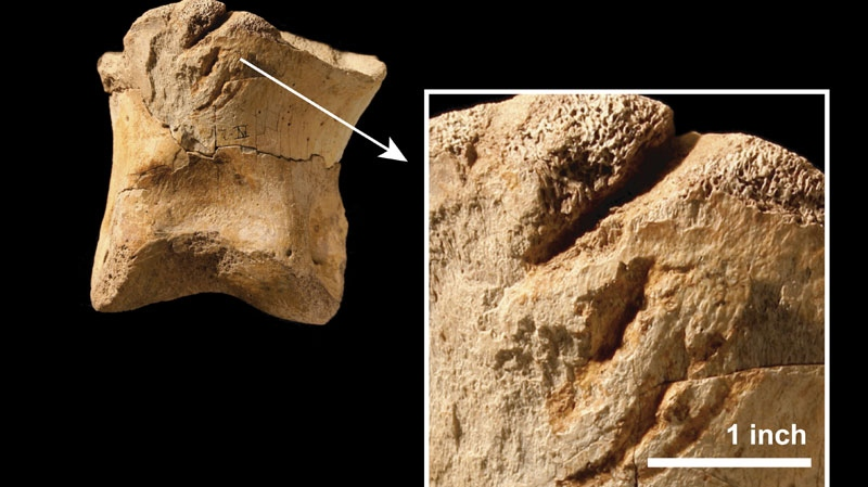 This image shows T. rex toothmarks on the toe bone of another T. rex. (Nicholas Longrich / Yale University)
