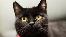 Black cat in Chicago