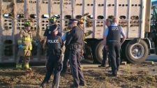 Emergency crews on the scene of a cattle truck roll over on Highway 401 on Saturday, Oct. 16, 2010.