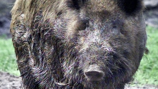 Wild boar shot after attacking, injuring 4 people in Berlin