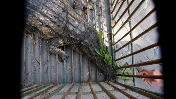 Sakher, a crocodile captured by Palestinian police