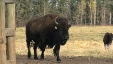 Bison generic