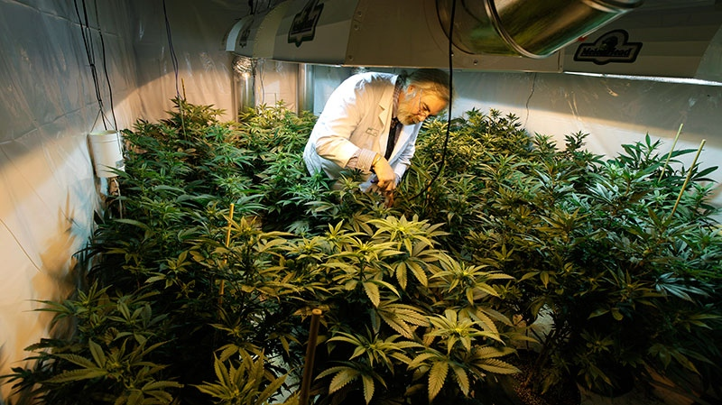 Jake Dimmock, co-owner of the Northwest Patient Resource Center medical marijuana dispensary, works with flowering plants in a grow room, in Seattle on Wednesday, Nov. 7, 2012. (AP /Ted S. Warren)