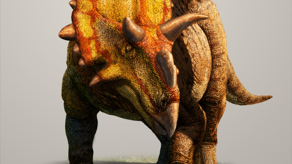 The horns on the Xenoceratops allow researchers to identify it as a new species of large-bodied horned dinosaurs. (Photo courtesy: Julius Csotonyi 2012)