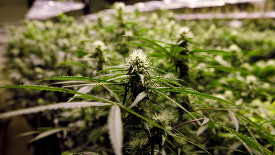 Marijuana plants flourish under the lights at a grow house in Denver, Thursday, Nov. 8, 2012. (AP / Ed Andrieski)