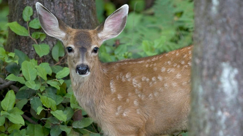 A deer is seen in the forest in Maple Ridge, B.C. on Sunday, Aug. 15, 2010. (Jonathan Hayward / THE CANADIAN PRESS)