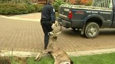 A large buck was found lying dead on a Saanich lawn. Nov. 02, 2010. (CTV)