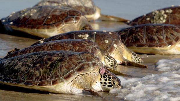 Green sea turtles on Jan. 19, 2011.