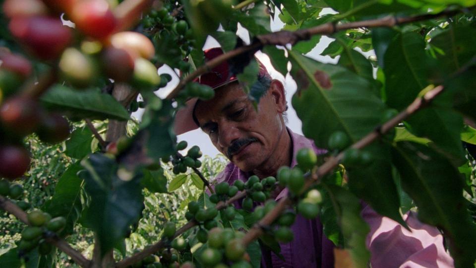 An agronomist inspects a coffee tree at the Sebastopol farm near San Pelegrino in Colombia's coffee growing region, July 30, 1997. (AP / Ricardo Mazalan)