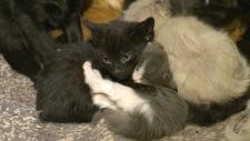 Kittens on Enoch Cree Nation
