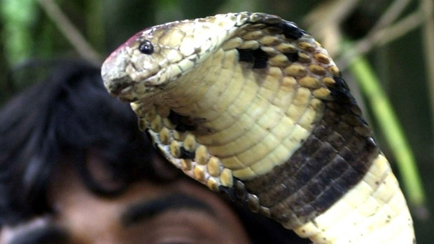 Poisonous Snakes Invade Soccer