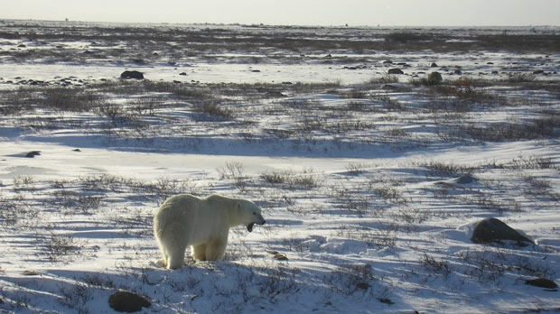 A polar bear walks in Churchill, Manitoba. (Photo by Barbara Walley)