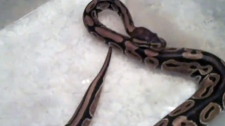 A Toronto couple recently found a python, pictured, in their basement.
