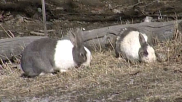 canmore resumes rabbit cull