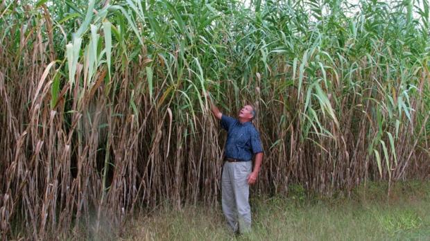 Arundo donax giant reed