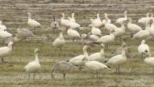 snow geese goose