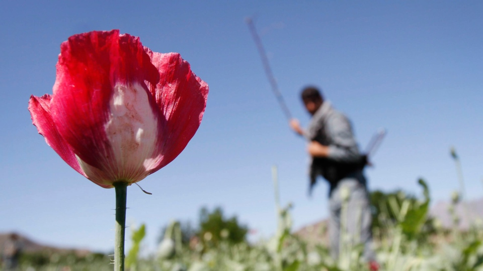 An Afghan policeman destroys an opium poppy field in Laghman province, east of Kabul, Afghanistan, April 2012. (AP / Rahmat Gul)