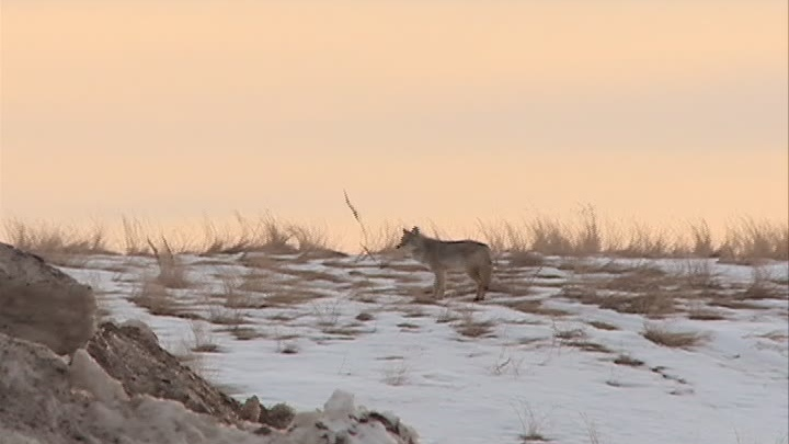 Coyotes have been spotted in Saskatoon twice in a matter of days – and this time, the animal showed signs of aggression.