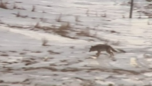New sighting of aggressive coyotes