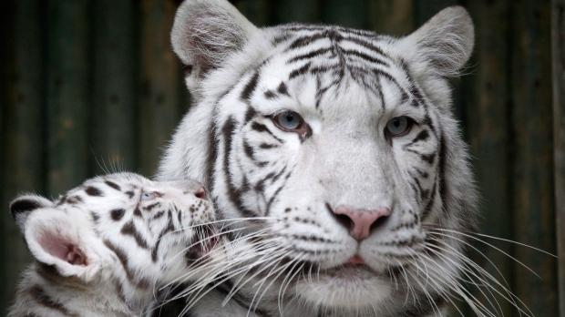 Rare white Indian tiger cub escapes Czech