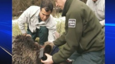 Wildlife officers fit bear 131 with the collar.