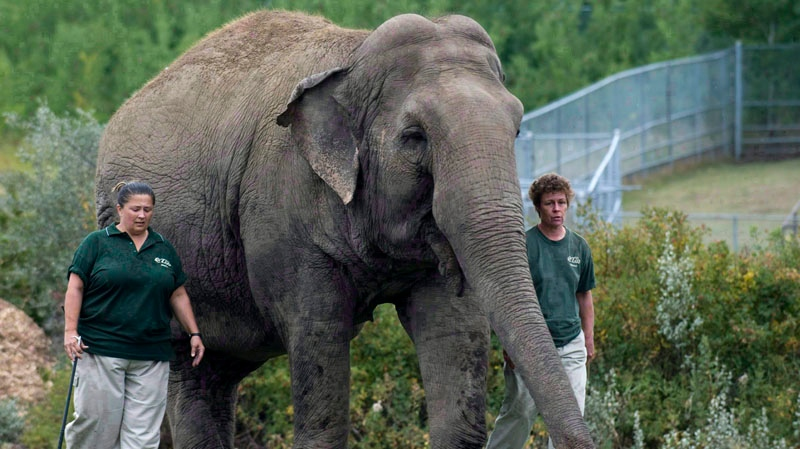Lucy the elephant walks with her handlers at Edmonton's River Valley Zoo on September 17, 2009. (Ian Jackson / THE CANADIAN PRESS)