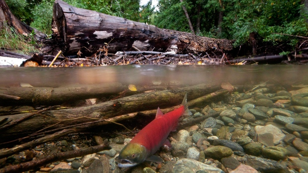 Salmon virus ties up B.C., Canadian resources