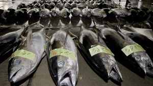 Tuna are assorted in lines at a fish market after being landed at Shiogama port, Miygagi Prefecture, northeastern Japan, Thursday, April 14, 2011.  (AP / Kyodo News)
