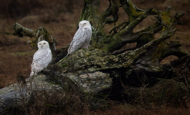 Snowy owls rest on a dead tree