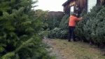 A Christmas tree farm is shown in this file photo.