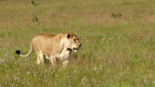 Africa lion population dropping human encroachment