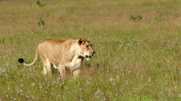 A lioness walks through tall grass in the Phinda Private Game Reserve, near the town of Hluhluwe, in Kwazulu-Natal province, South Africa, April 2012. (AP / Matthew Craft)