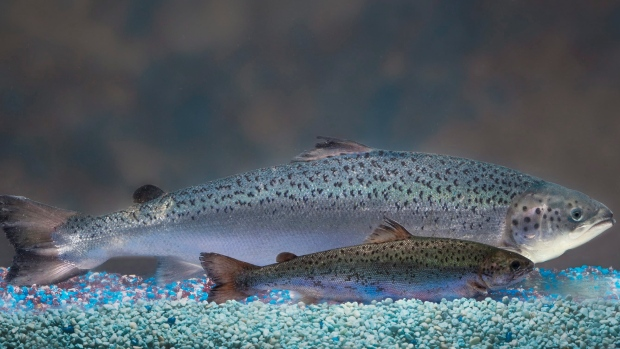 2 same-age salmon, gmo at rear, conventional front