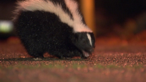In Vancouver's West End complaints are up, dogs get sprayed several times, and even humans can feel the wrath of skunks. CTV Investigates what you can do to protect you and your pets. (CTV)
