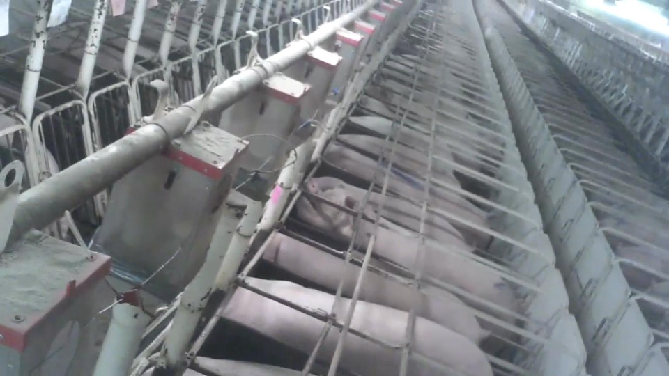 Thousands of pregnant sows are kept in rows of gestation crates at this Manitoba farm as part of a living production line.