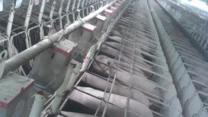 sow gestation crates