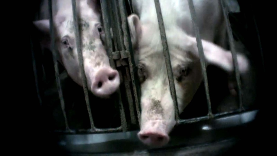 At a Manitoba pig farm, impregnated sows are kept in small metal crates, side by side, until they are ready to give birth.