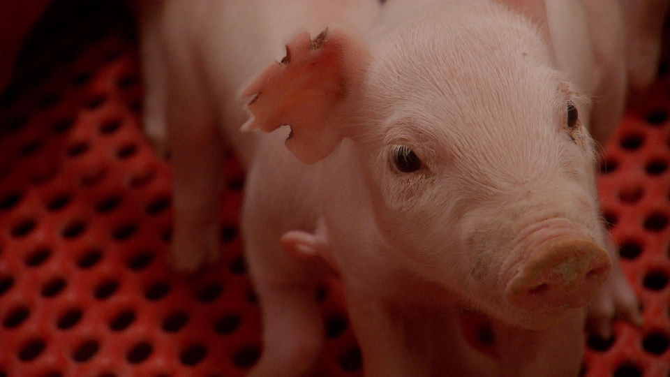 Piglets are shipped off for 'fattening,' and often have their tails and testicles cut off without anesthesia.