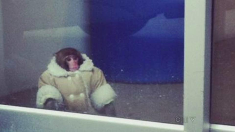 CTV Toronto: Ikea monkey goes viral