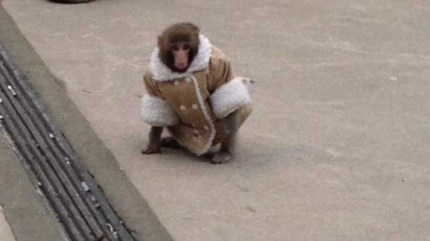 ikea monkey being weaned off human contact sanctuary
