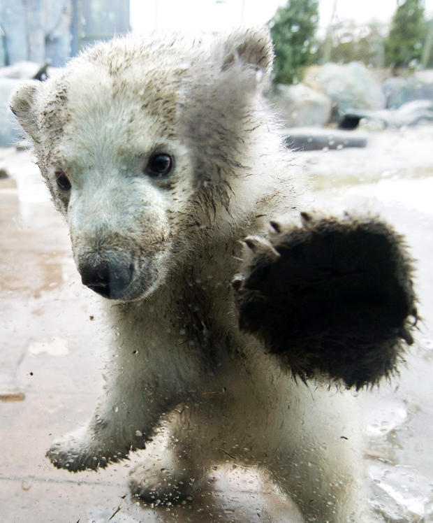 Toronto Zoo shows off three-month-old polar bear