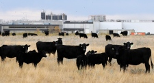<b>XL Foods recalls beef as E. coli cases detected across Canada</b><br><br>  Beef cattle in pasture beside XL Foods' Lakeside Packers plant at Brooks, Alta., on Monday, Oct. 12, 2012. Known as one of the largest recalls in Canadian history, around 1,800 products were recalled at an Alberta beef plant after at least 16 people fell ill due to an E. coli outbreak. (Larry MacDougal / THE CANADIAN PRESS)