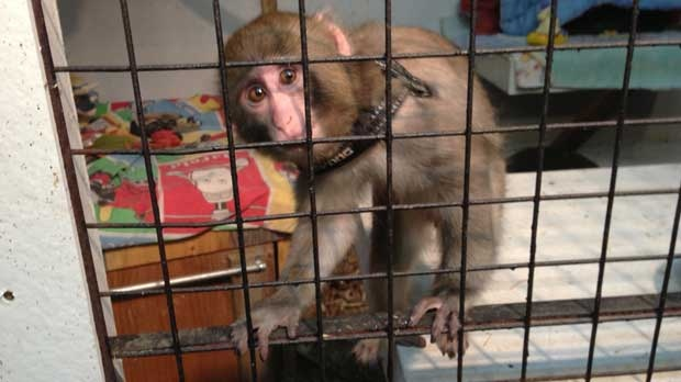 Darwin, better known as the Ikea monkey, is photographed from his new home at the Story Book Farm Primate Sanctuary.  (Tom Podolec/CP24)