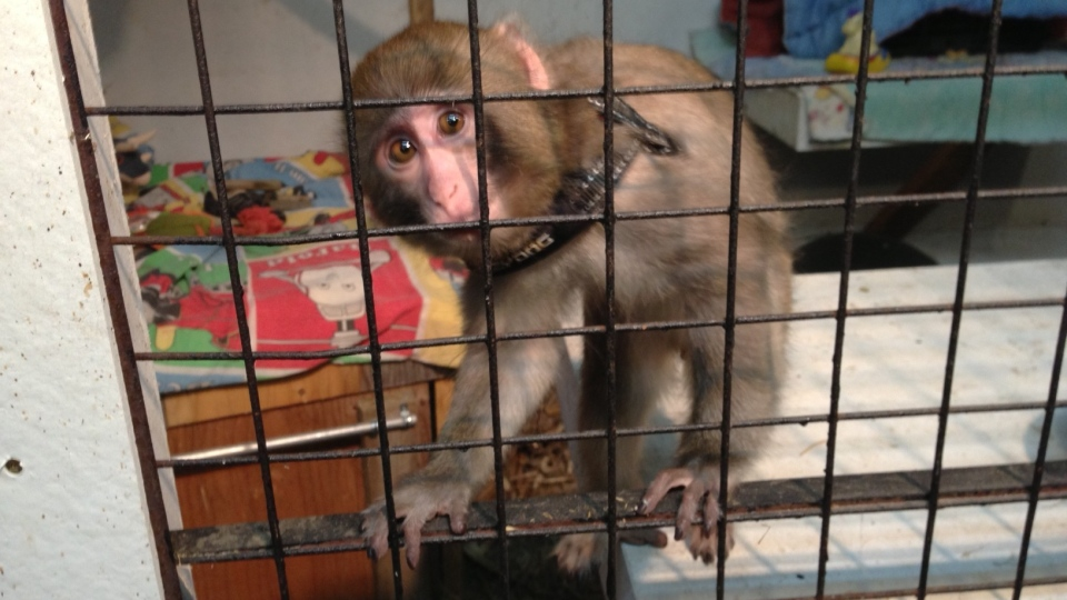 Darwin, a monkey that was found wandering around a Toronto Ikea's parking lot, climbs his cage at the Story Book Primate Sanctuary in Sunderland, Ont., Monday, Dec. 10, 2012.  (Tom Podolec / CTV News)