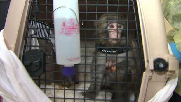 Darwin, Ikea Monkey