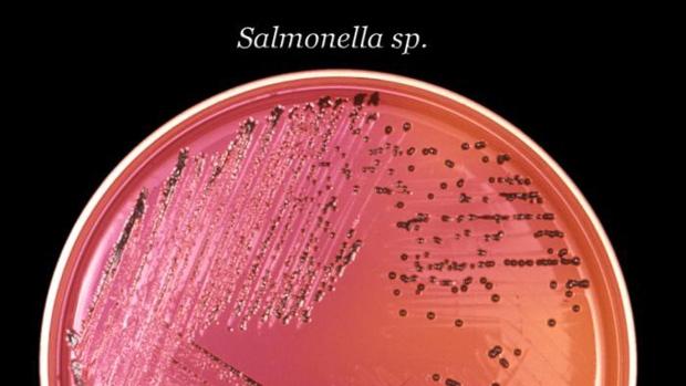 Salmonella bacteria in a petri dish