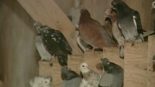 Pigeons are seen in a coop run by Pigeon King International in this image taken from video.