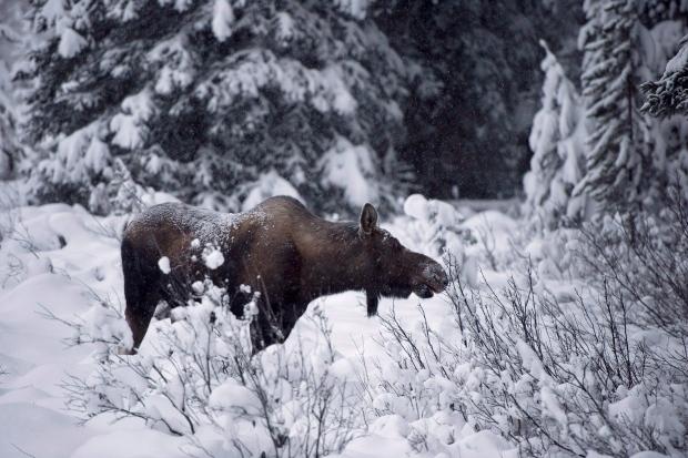 Moose eats from shrub near Lake Louise Nov. 2012